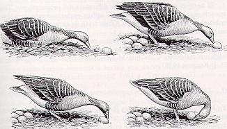 En gåshona skyfflar tillbaka ett ägg på rymmen.